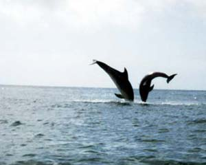 Dolphins frolicing
